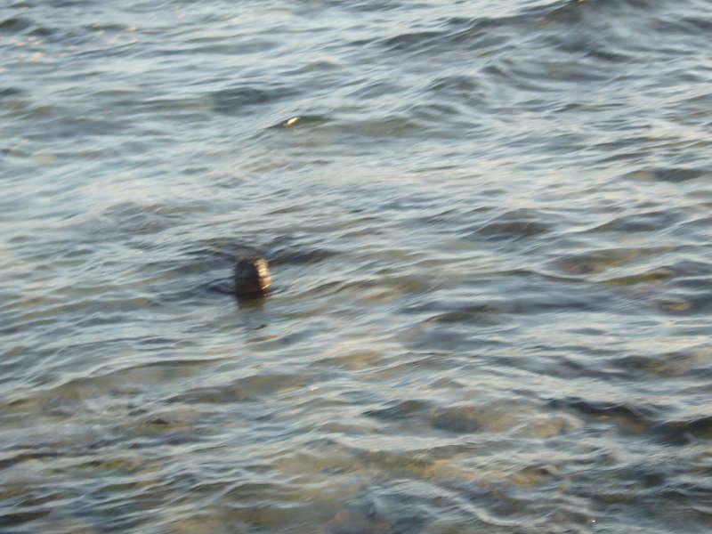 Iguana de mar, nadando.