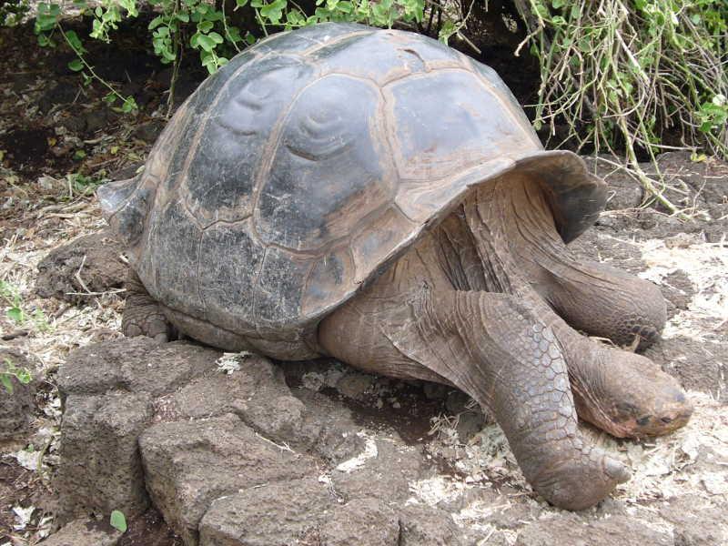Tortuga Gigante: Solitario George.