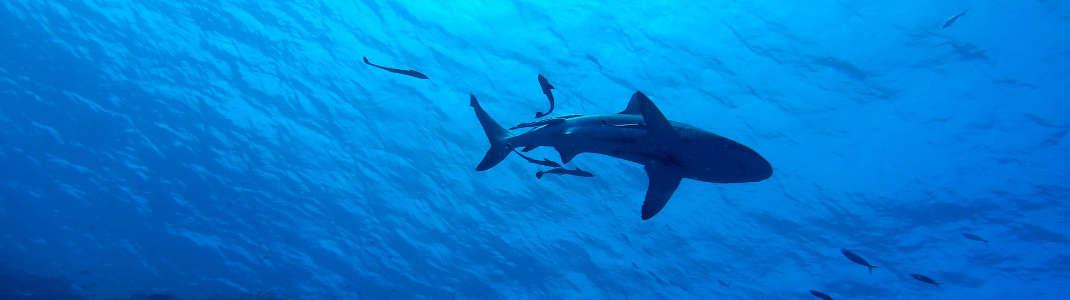 Tiburón de Galápagos.