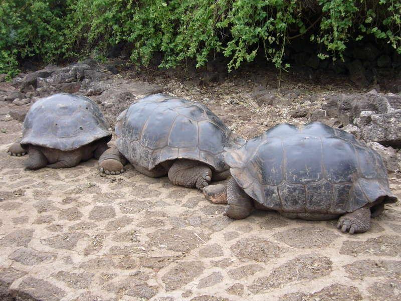Tortugas gigantes en la Estación científica Charlas Darwin.