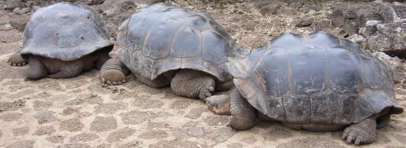 Tortugas gigantes, Estación Charles Darwin, Santa Cruz.