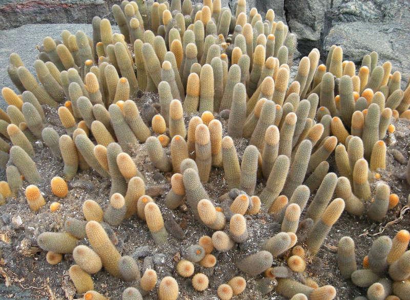 Cactus de Lava.