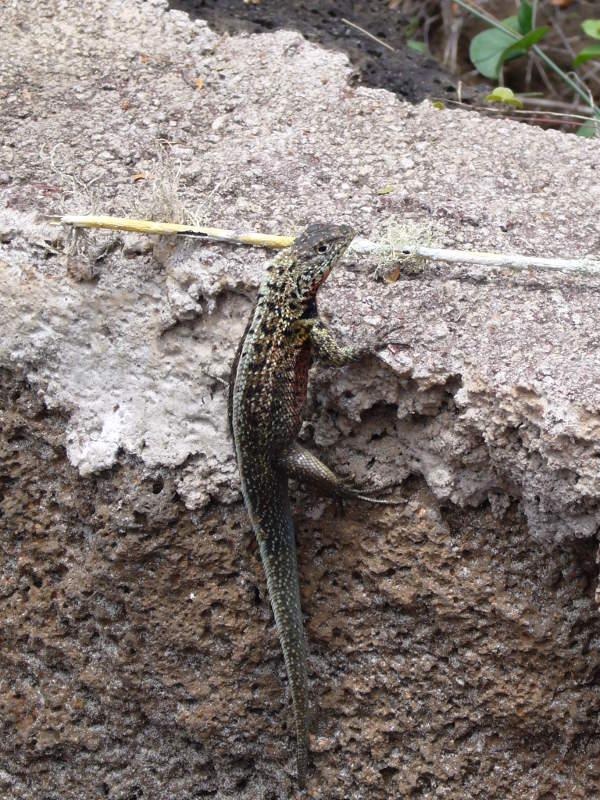 Microlophus en una roca.