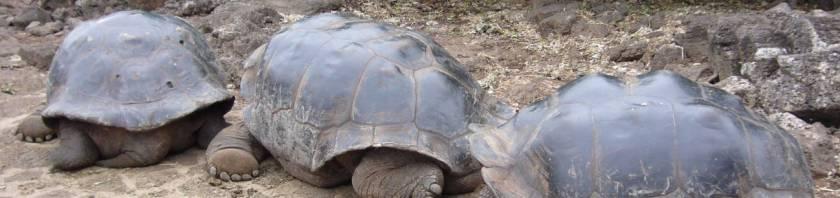 Tortugas en Galápagos.
