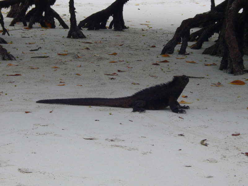 Iguana marina en la Bahía Tortuga.