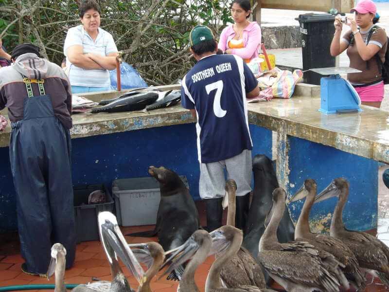 Pelícanos en Puerto Ayora.