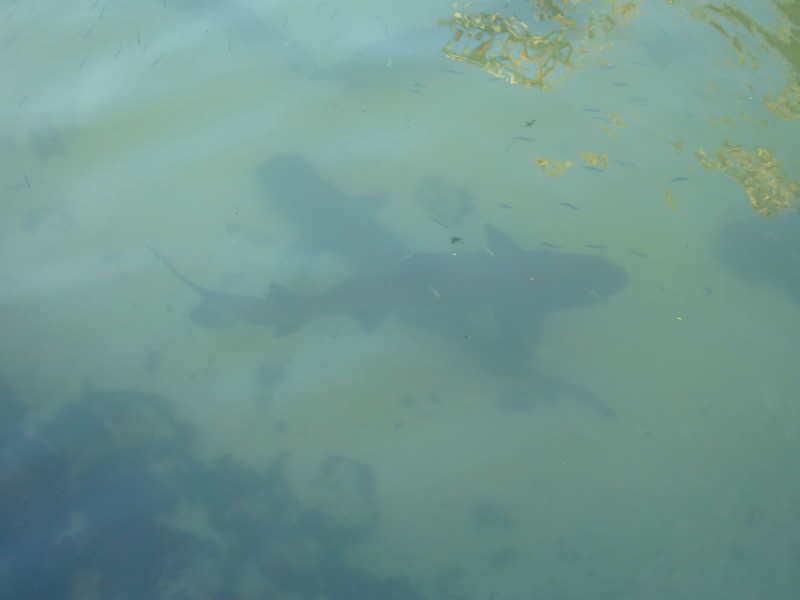 Tiburones por la Islote Las Tintoreras.