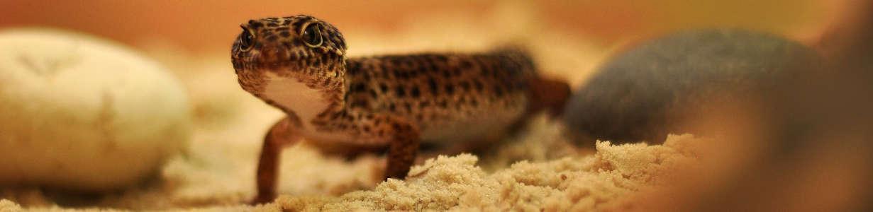Gecko de Galápagos.
