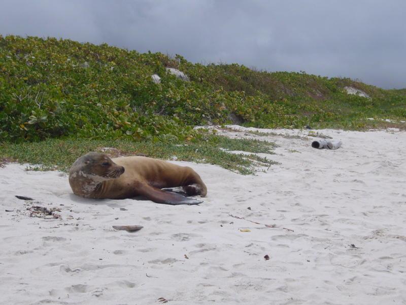 Lobo marino en la playa de Bahía Tortuga.