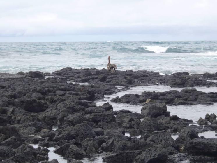Pelícano en la Bahía Tortuga.