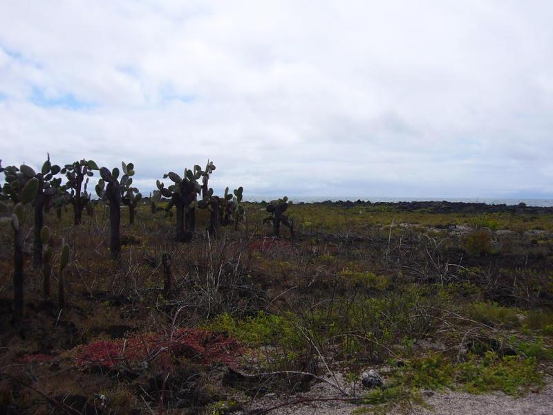 Cactus Opuntia.
