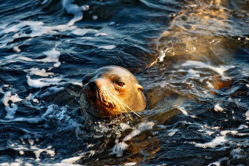 Arctocephalus galapagoensis nadando en el mar.