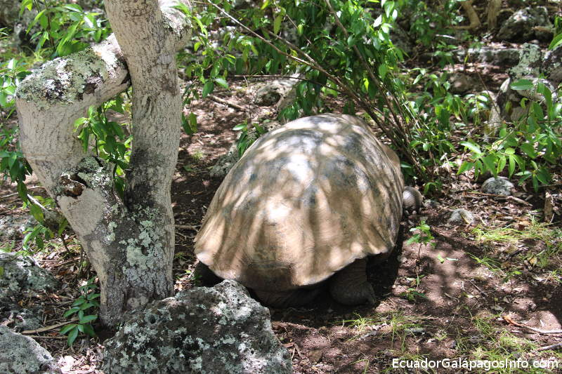 Tortuga gigante de Galápagos en la Galapaguera.