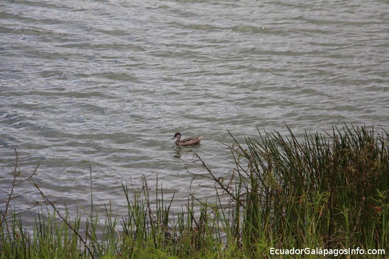 Patillo en la laguna El Junco.