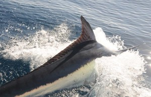 black-marlin-istiompax-indica-02