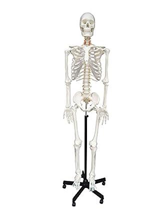 Wellden Product Life-size Medical Anatomical Human