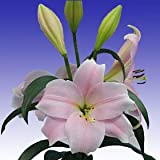 Asiatic Lilies Pink 120 Long Flowers Wholesale