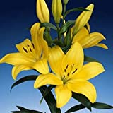 "Asiatic Lilies Yellow 120 Flowers 24"" - 28"" Long Wholesale"