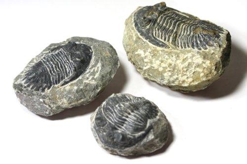 【化石】三葉虫 (大)