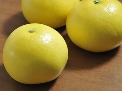【6か月枯れ保証】【冬に収穫する果樹】ブンタン/イエローポメロ 15cmポット  50本セット