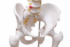 脊椎骨盤模型(股関節付)GX-126 せきついの人骨模型 高さ90cm 骨盤と股関節付き 人体模型 実物大