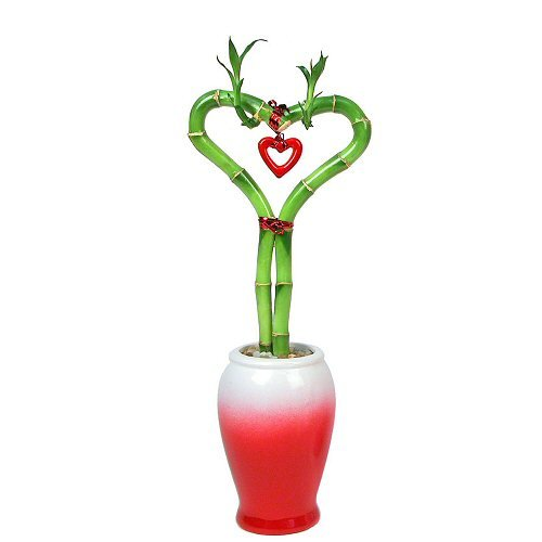 Best Buy Valentines Day Heart Shaped Lucky Bamboo