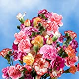 160 Spray Carnations Assorted Mini Carnations Bulk Wholesale