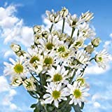 Best White Chrysanthemum Daisy Flowers | 72 Pom Poms White Daisies