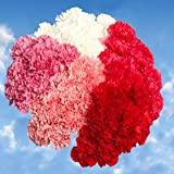 300 Carnations Mother's Day Long Carnation Flowers Wholesale