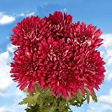 Fresh Burgundy Chrysanthemum Disbud Flowers | 200 Pom Poms Burgundy
