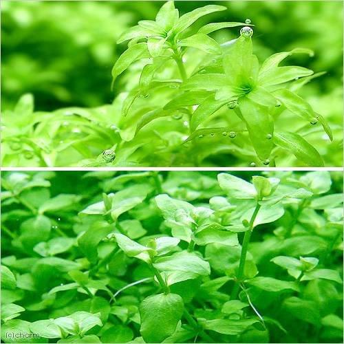 (水草)パールグラス(10本)+バコパオーストラリス(5本)(無農薬) 北海道航空便要保温