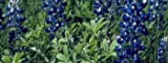 Texas Bluebonnet – 500 Seeds