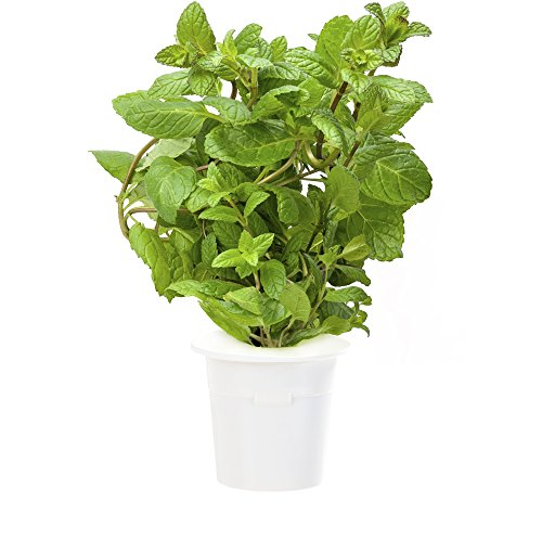 Click & Grow Peppermint Refill 3-Pack for Smart Herb Garden