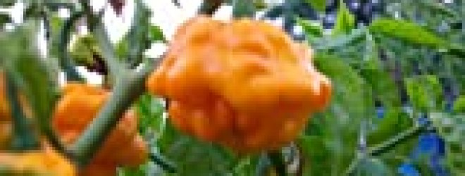 Scotch Bonnet Chile Seed Collection 30+ Seeds