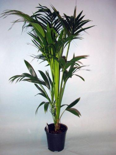 exotische palmen exotische pflanzen und samen. Black Bedroom Furniture Sets. Home Design Ideas