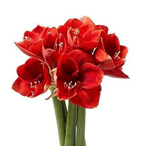Blumenstrauss  Schnittblumen  5 rote Amaryllis