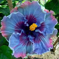 10+ Dinnerplate Hibiscus/ Perennial Flower Seed/ Easy to ...