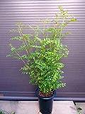 鉢植え シマトネリコ 全長90CM前後 12本以上の株立ち 観葉植物にも