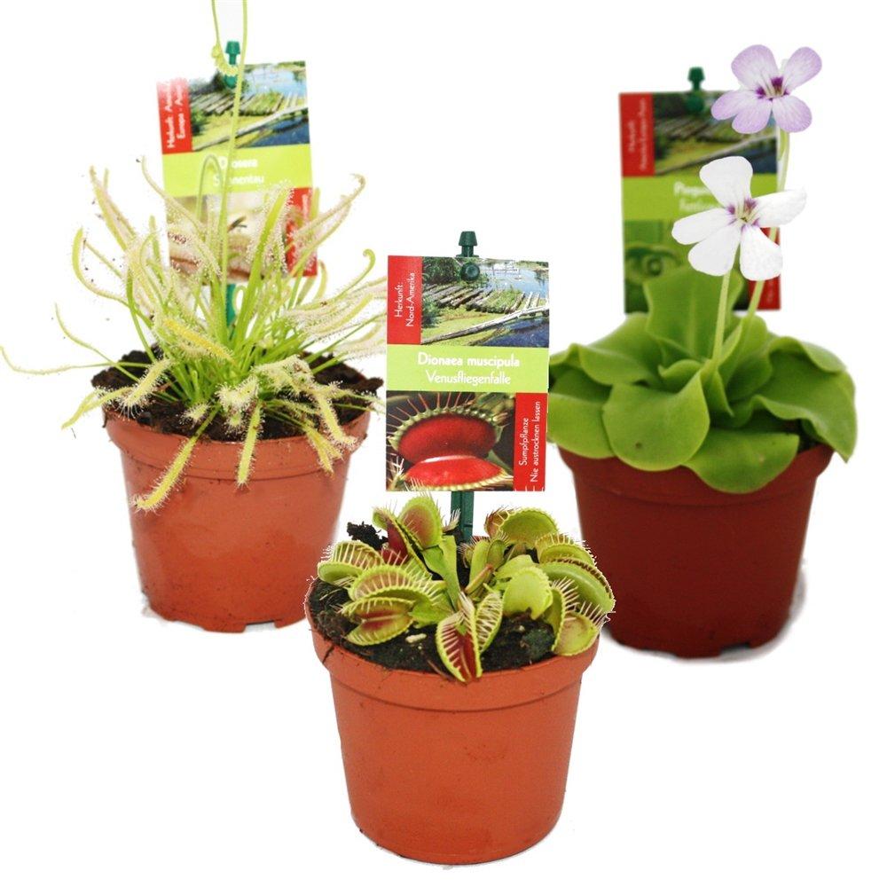 venusfliegenfalle exotische pflanzen und samen. Black Bedroom Furniture Sets. Home Design Ideas