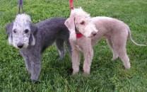 Pet dogs impact on allergy eczema asthma