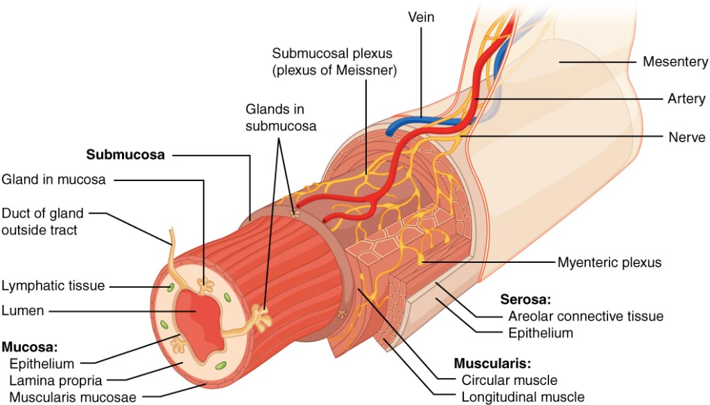 What is GI Tract
