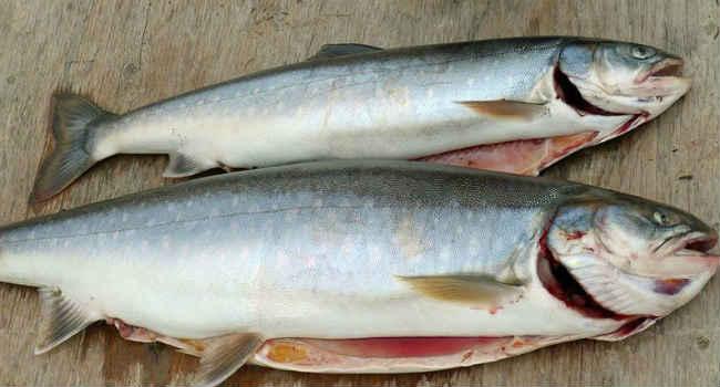 Голец. Рыба голец – достойный представитель семейства лососевых Все о рыбе голец