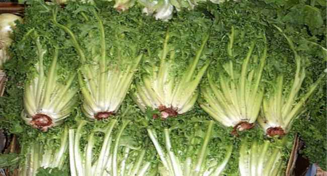 Салат цикорий кочанный