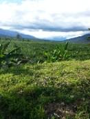 Kokoda Oil Palm Plantation