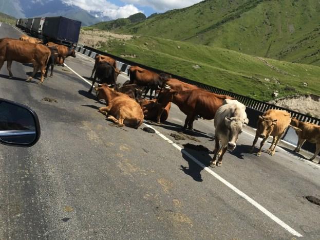 Lehmad sõjateel I Foto: Annika Arras