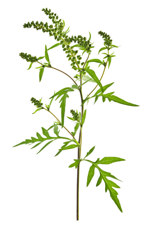 Ragweed Allergy Symptoms Images & Pictures - Becuo