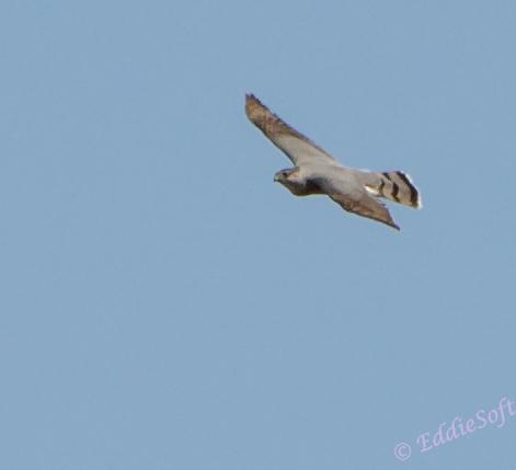 Cooper's Hawk at Chain O' Lakes