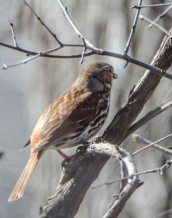 Fox Sparrow at Chain O Lakes
