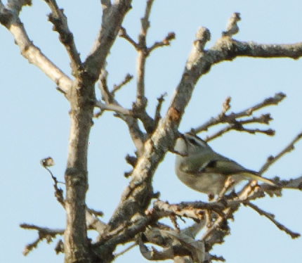 A Golden-Crowned Kinglet Shot at Chain O' Lakes State Park