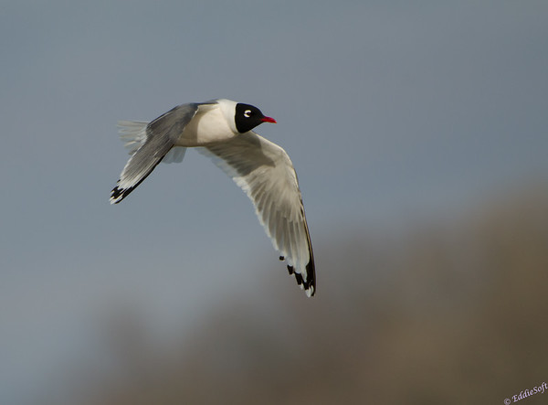 Franklin's Gull on the Mississippi